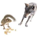 Povestea veveriţei şi a lupului