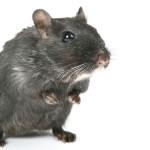 Inimă de şoarece