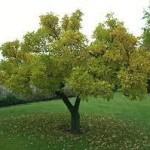 Copacul cu griji