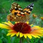 Visul fluturelui