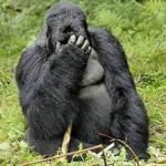 Buddha - gorila