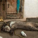 Pisica cu clopotei
