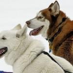 Câinii eschimosului